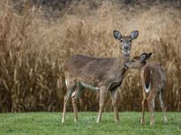 Game Commission Partnering with Deer Hunters
