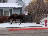 Say What?!: Police Chase Moose Through Idaho City