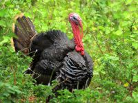 Turkey Hunters Reminded to Carry Tags, Report Harvests