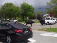 Say What?!: Bull Escapes Trailer Outside Illinois Veterinary Clinic