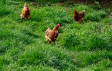 Say What?!: 100 Chickens on the Run When Latch Opens on Interstate