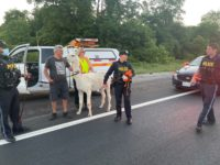 Say What?!: Police Capture Loose Llama Running in Highway Traffic