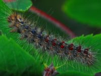 Noticeable Gypsy Moth Defoliation Anticipated This Year
