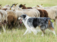 Say What?!: Dog Missing After Highway Crash Found Herding Sheep Days Later