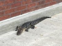 Say What!? Florida Police Eject Trespassing Alligator from Mall
