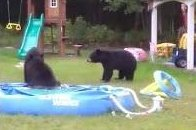 Say What?!: Bears Take a Dip in Massachusetts Family's Inflatable Pool