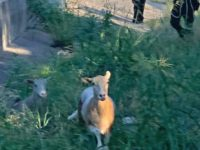 Say What?!: Escaped Sheep Lead Texas Officers on Highway Foot Chase