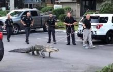 Say What?!: Alligator Caught Trying to Break Into Community Pool in North Carolina